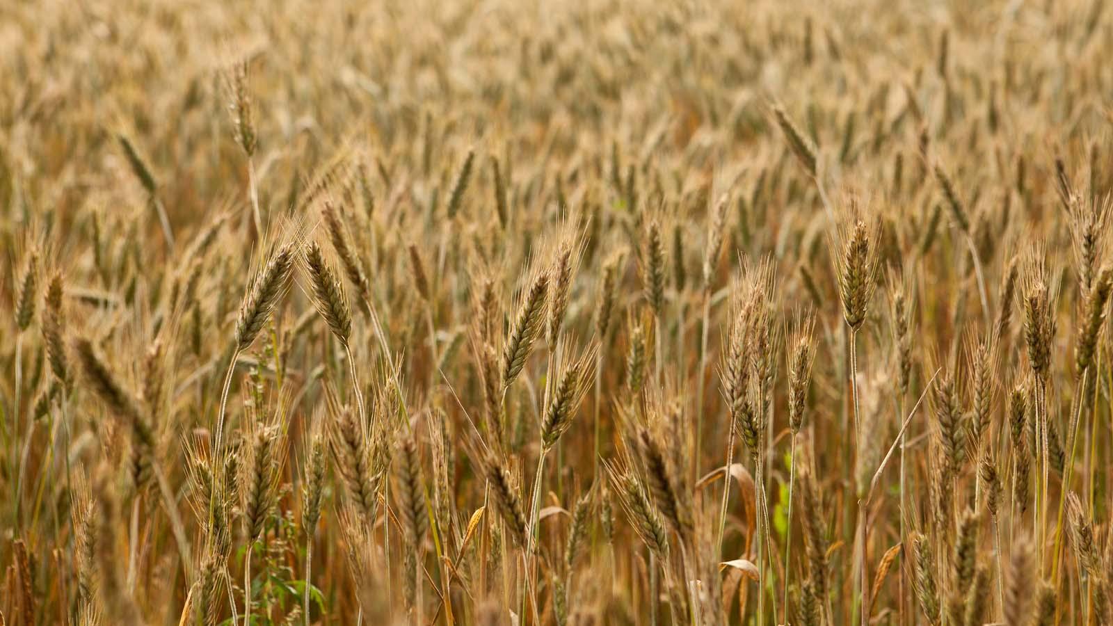 Wielu z nas jest jednym chlebem i jednym ciałem wszyscy, <br> którzy jednego chleba uczestnikami jesteśmy <br>